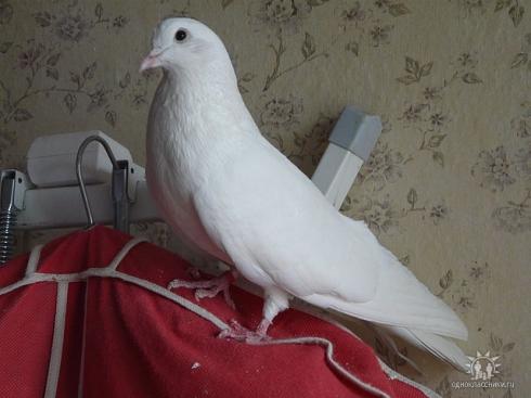 Житель Эльмаша устроил в квартире голубятню. Соседи пишут жалобы в полицию